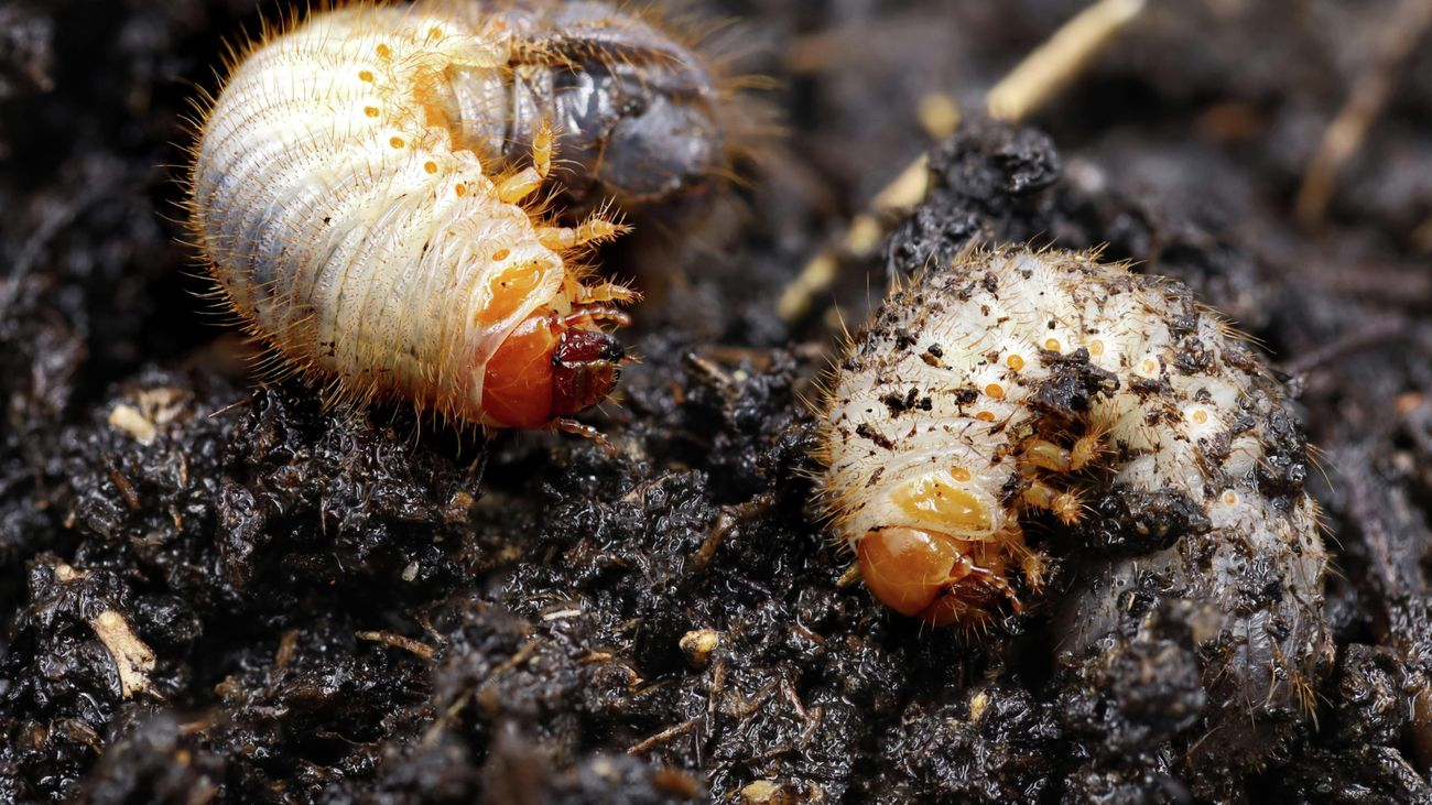 Two grubs in the dirt