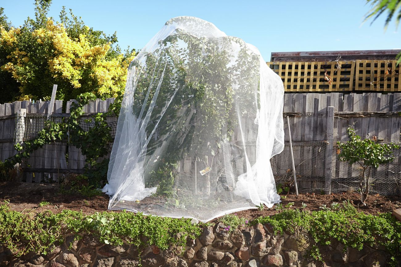 A tree covered in white netting