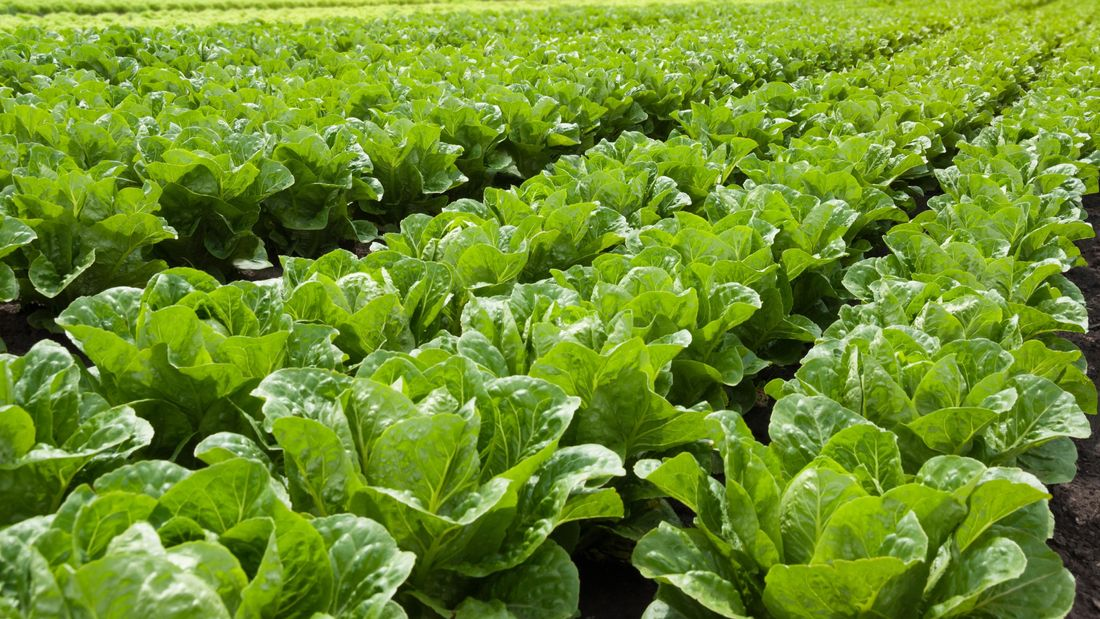 wide shot of rows of planted lettuce in a field