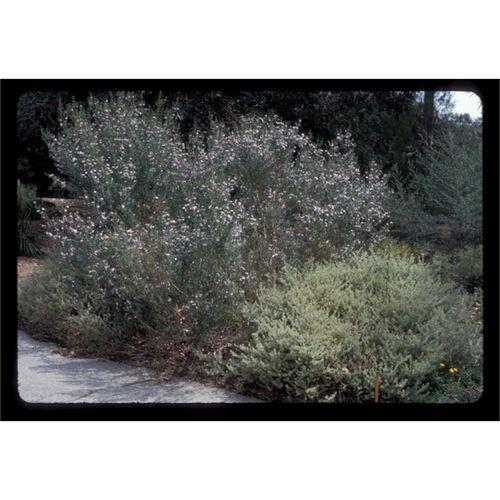 140mm Wynyabbie Gem - Westringia fruticosa x eremicola