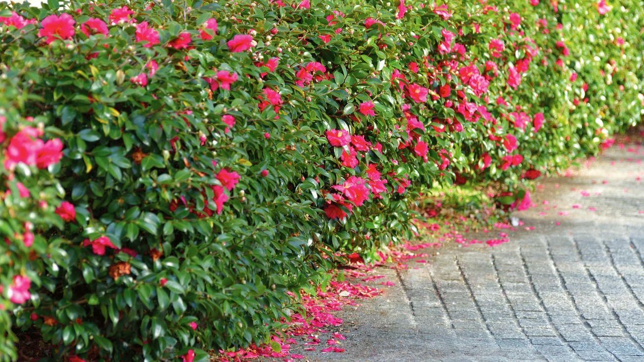 A hedge of camellia sasanqua flowers