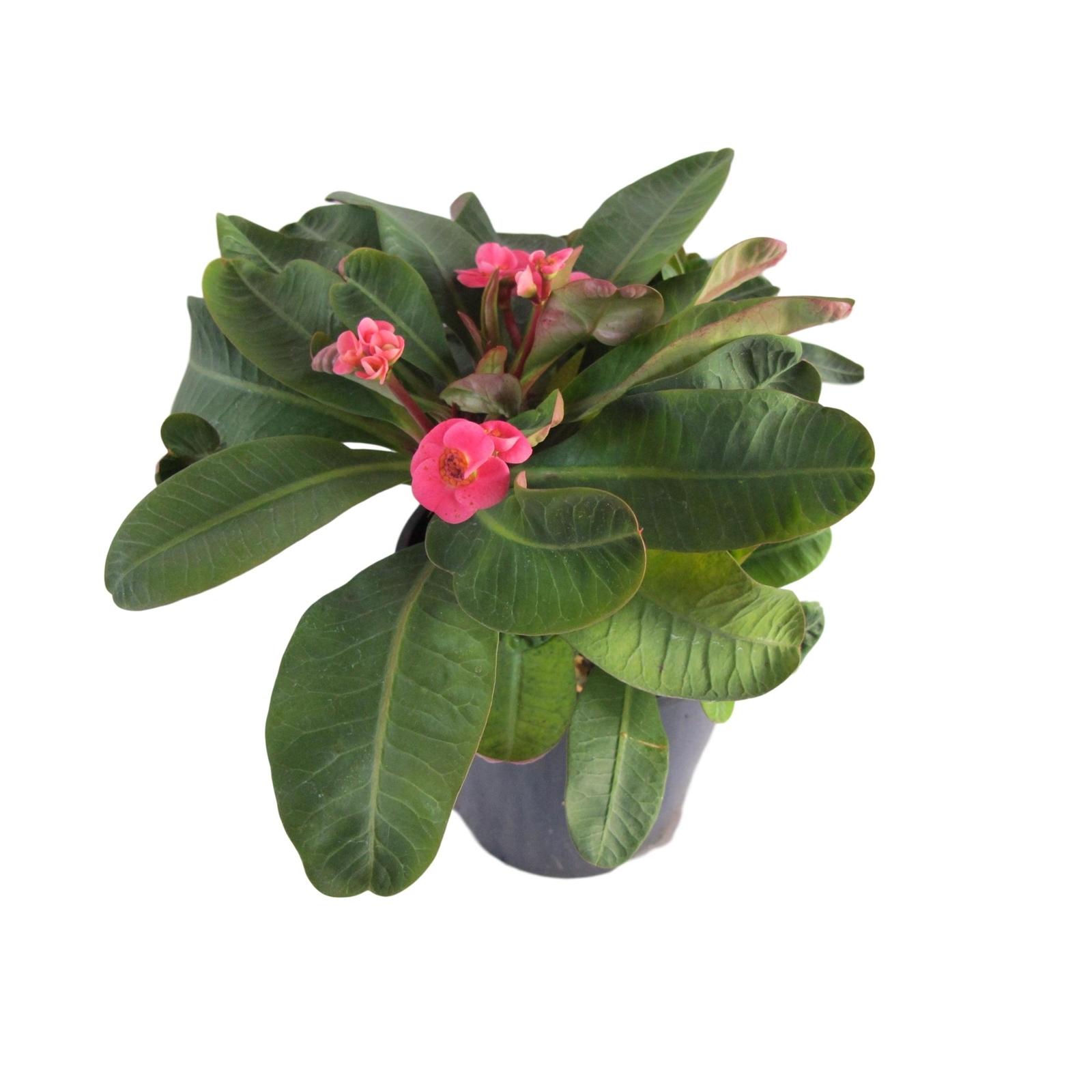 1.9L Lipstick - Euphorbia lophogona