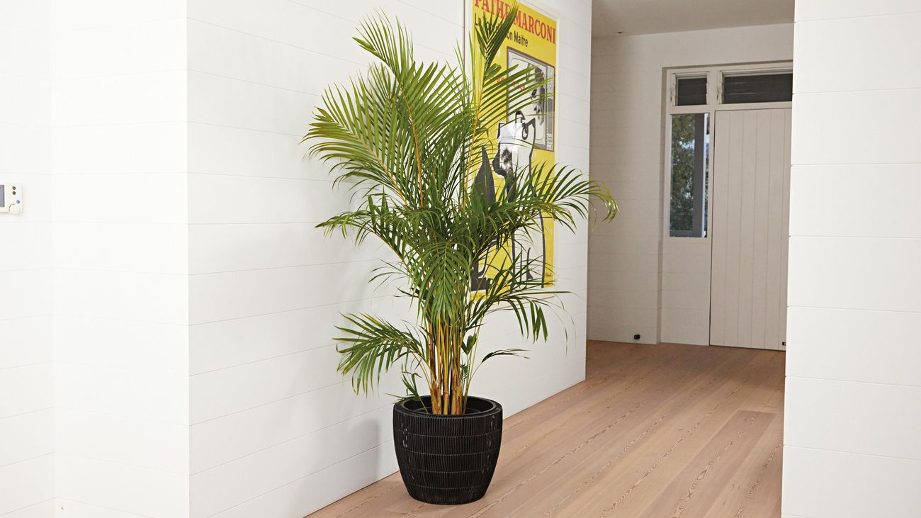 Entrance of house with light timber flooring, large black pot with fern and yellow wall print.