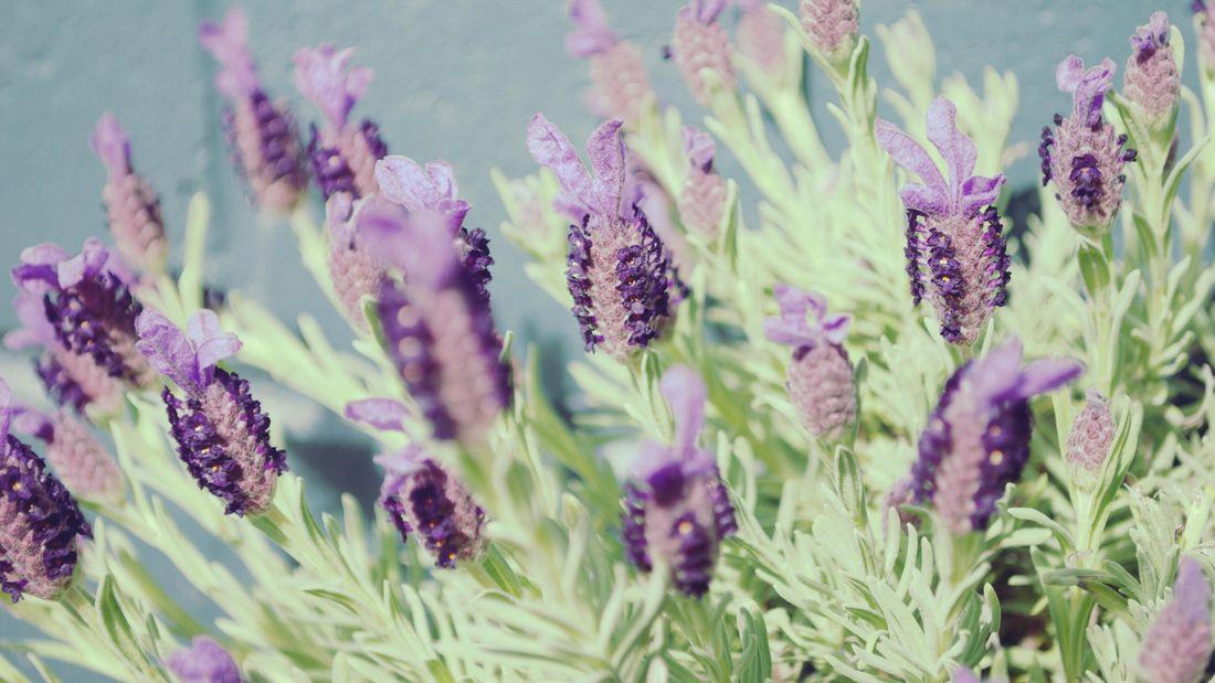 Lavender plants with purple flowers