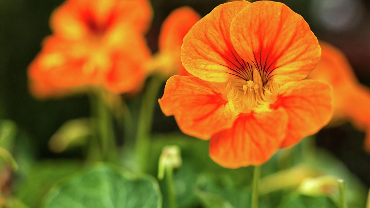 Close up of an orange nasturtium flower