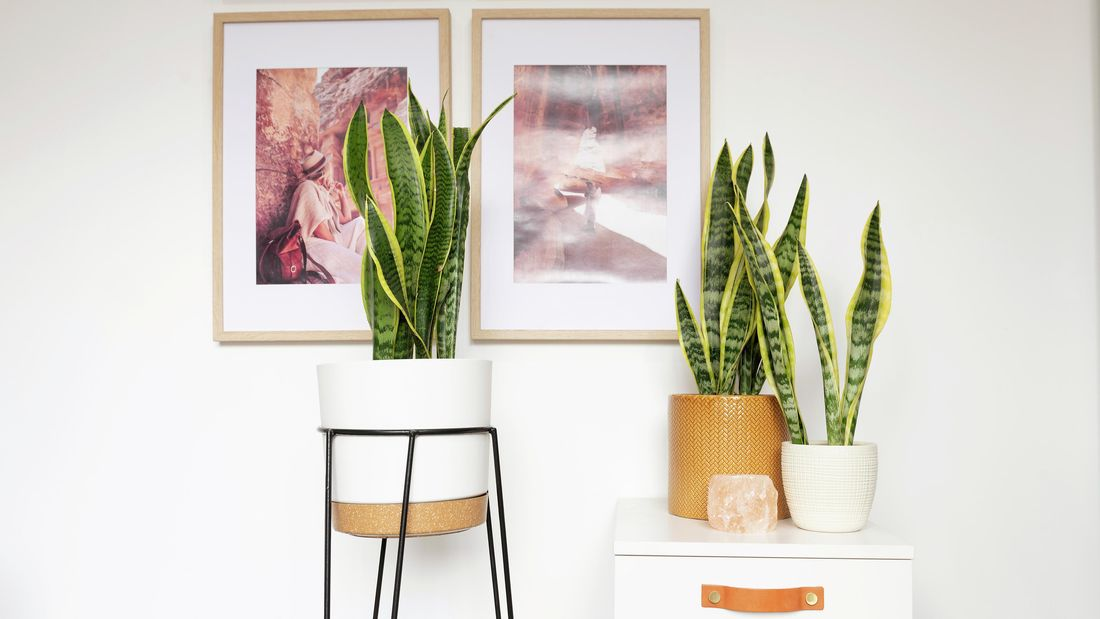 A group of sansevieria plants in pots.