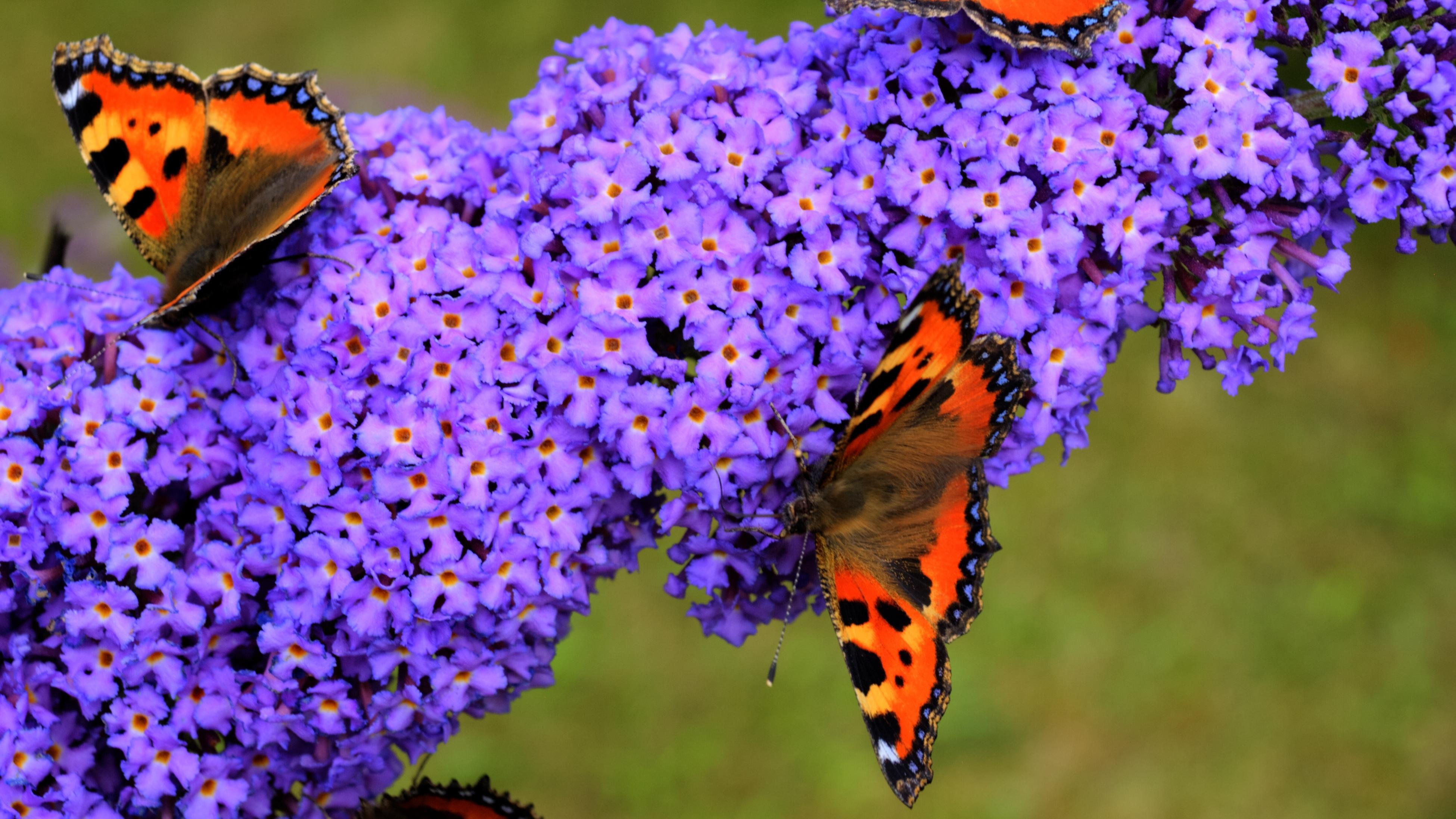 close up of a flowering buddleia with butterflies