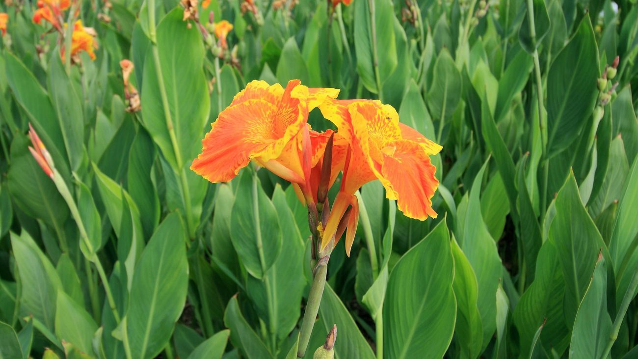 Canna lilies in bloom.
