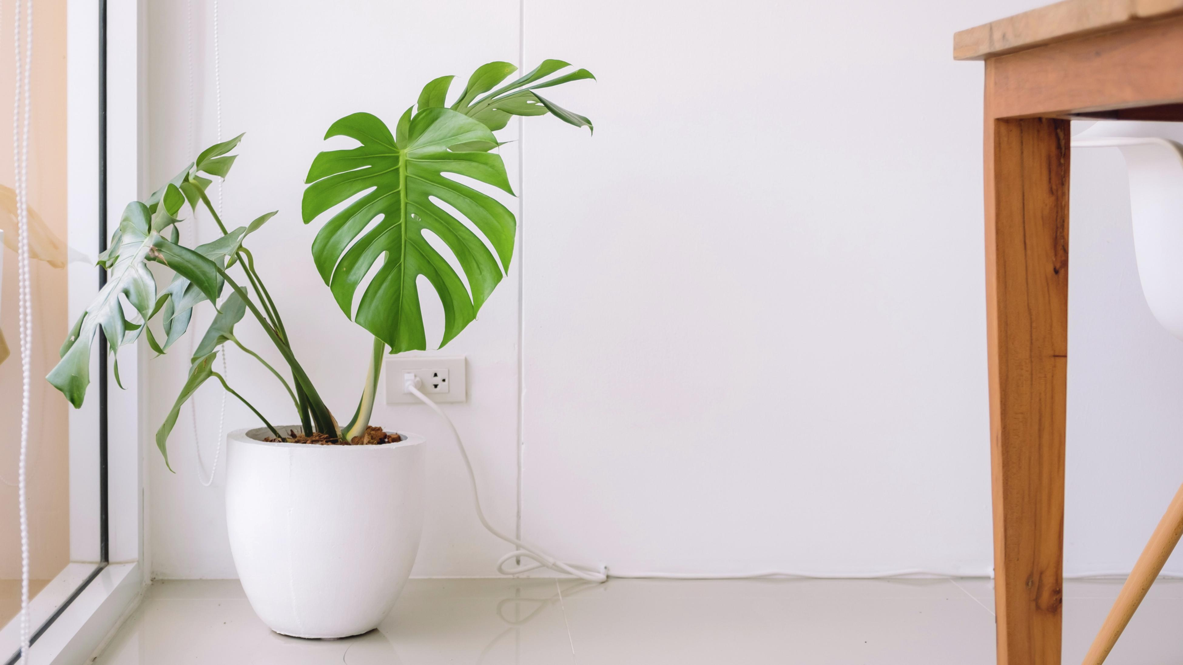 A potted monstera plant in an indoor setting