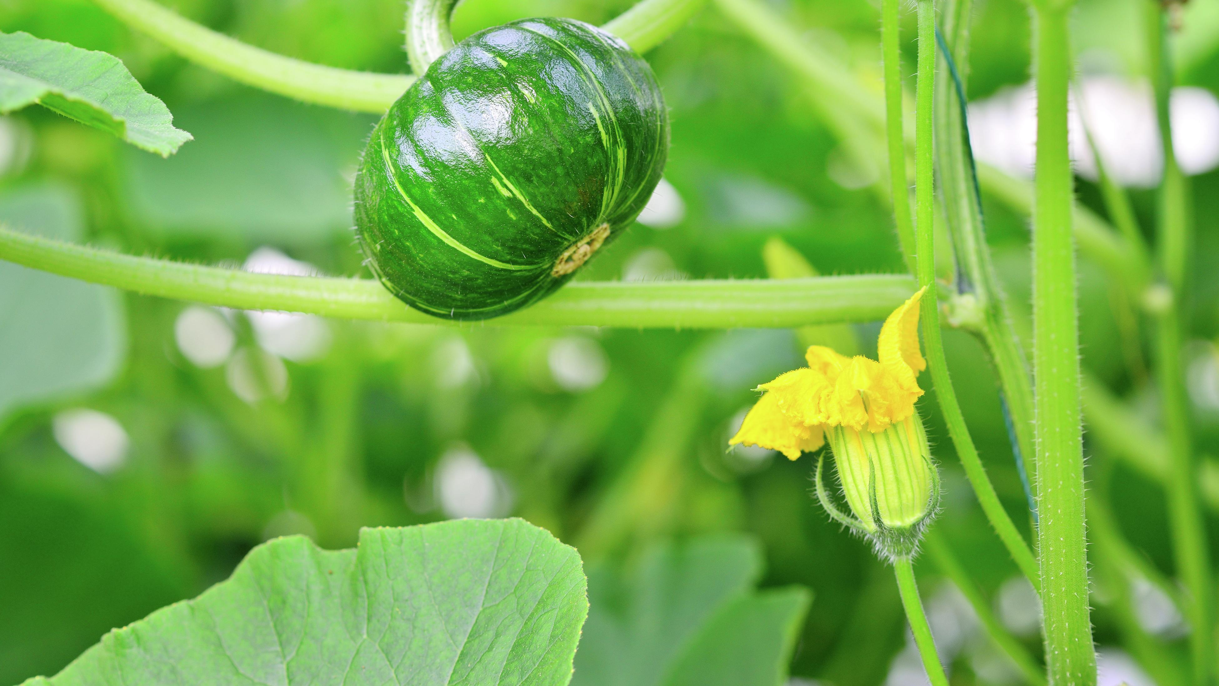 One unripe green pumpkin on the vine and a yellow flower.