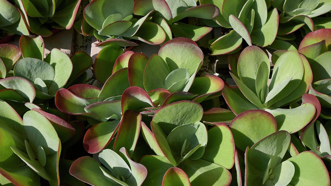 A succulent plant with many leaves seen from above
