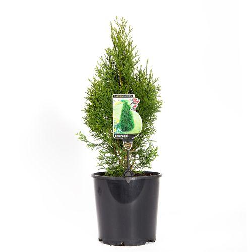 200mm Smaragd Conifer - Thuja Smaragd