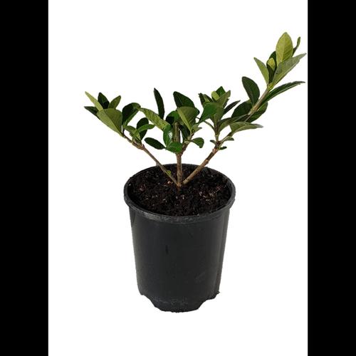 1.5L Gardenia Crown Jewels - Gardenia jasminoides