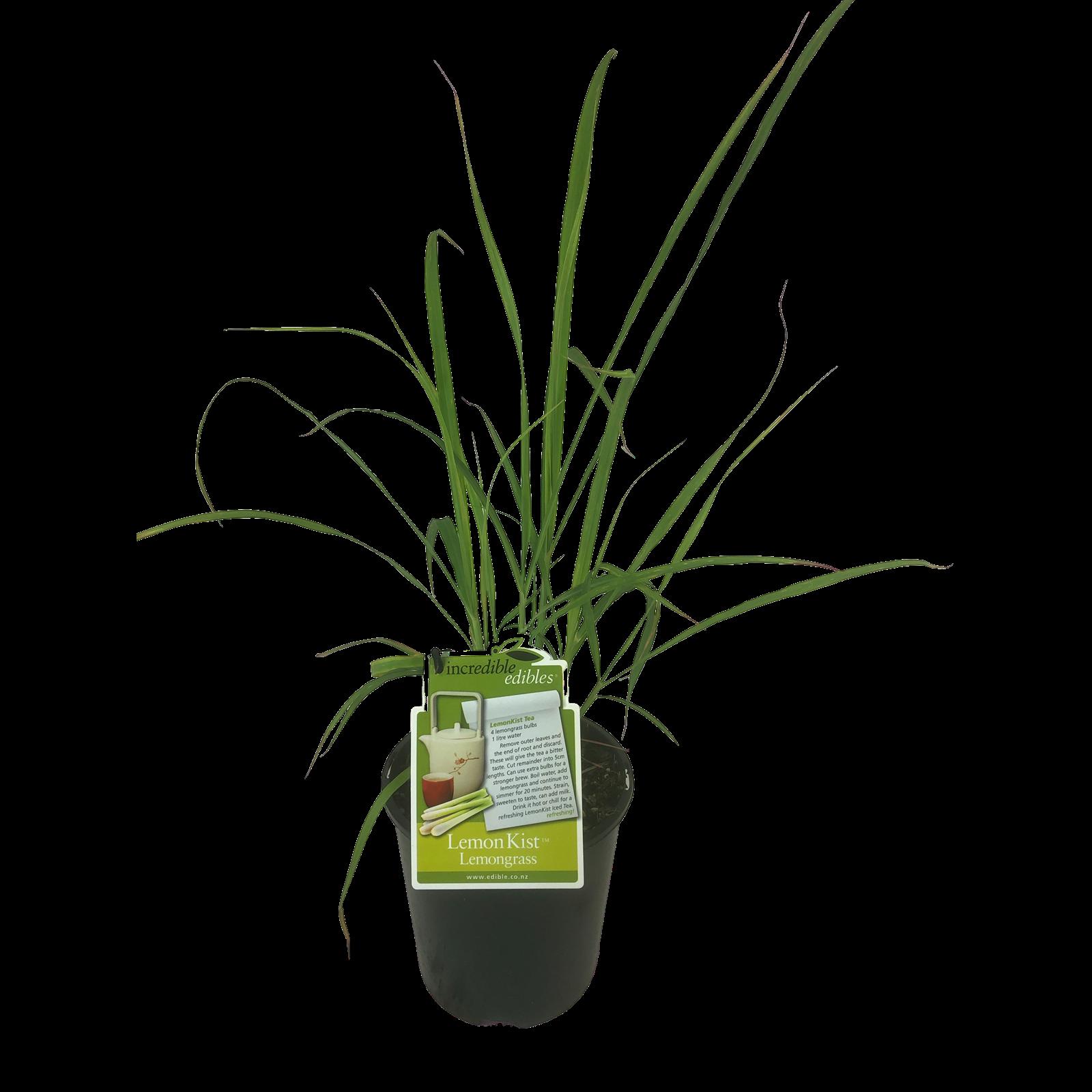 1.9L Lemongrass - Cymbopogon citratus - Incredible Edibles Range