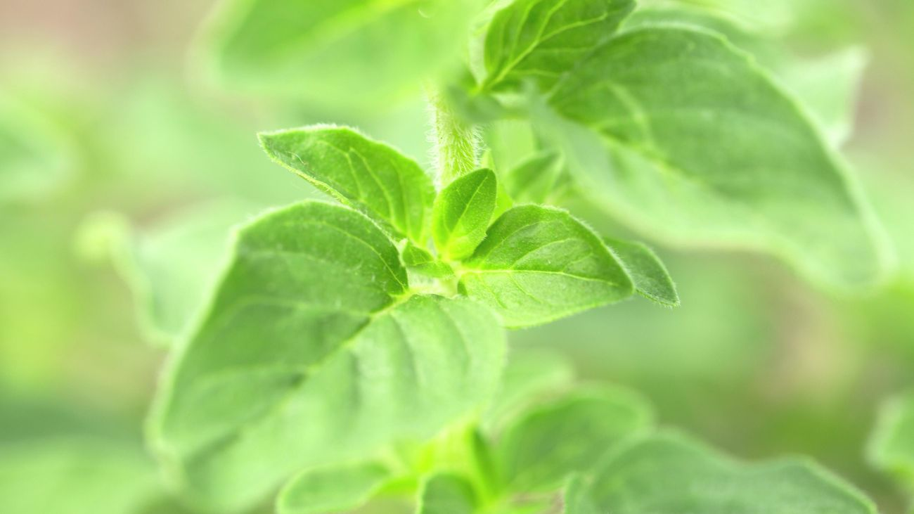 close up of Oregano leaves