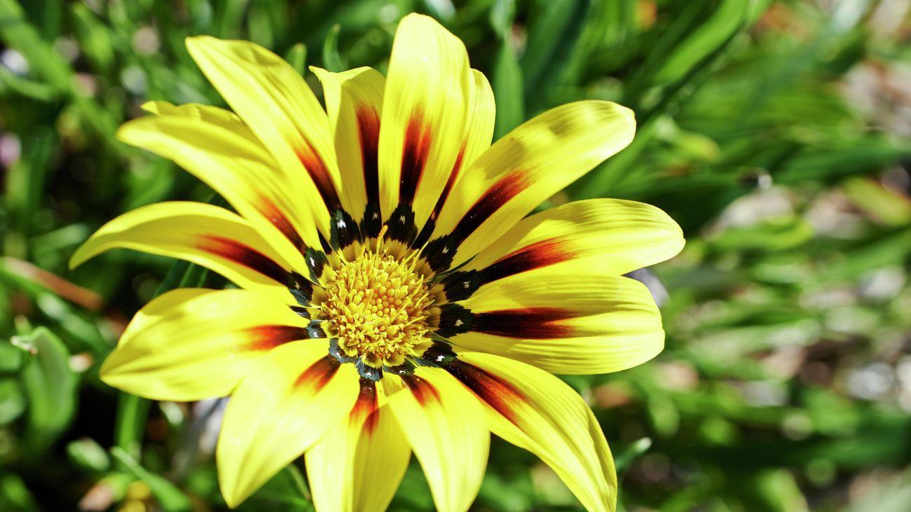 Gazania the treasure flower