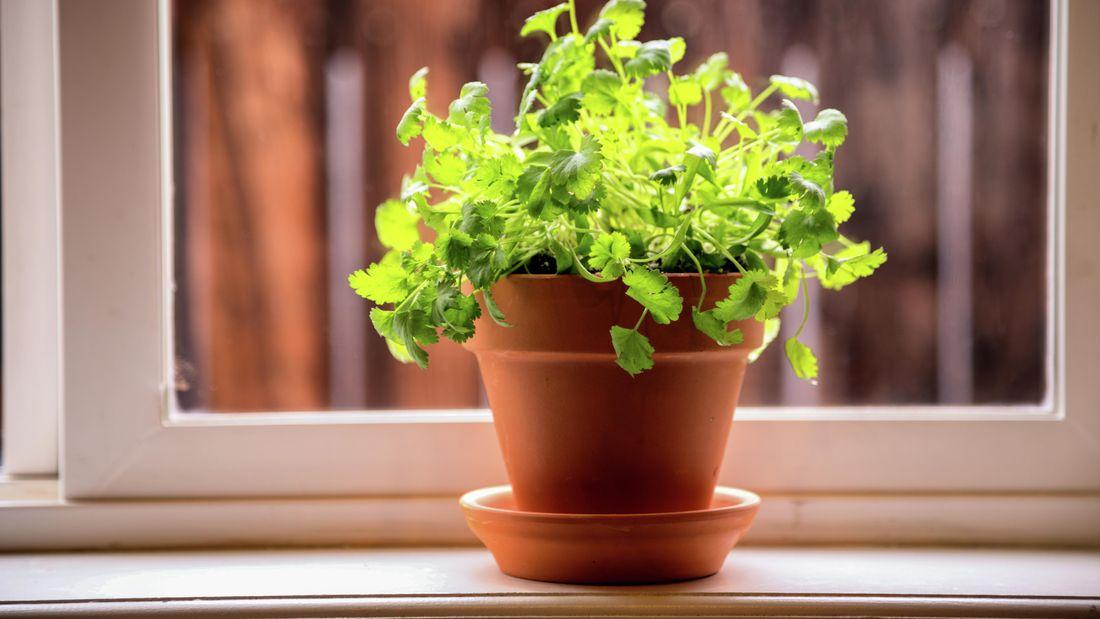 A flowerpot of coriander in a windowsill