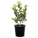 Screening & Hedge Plants