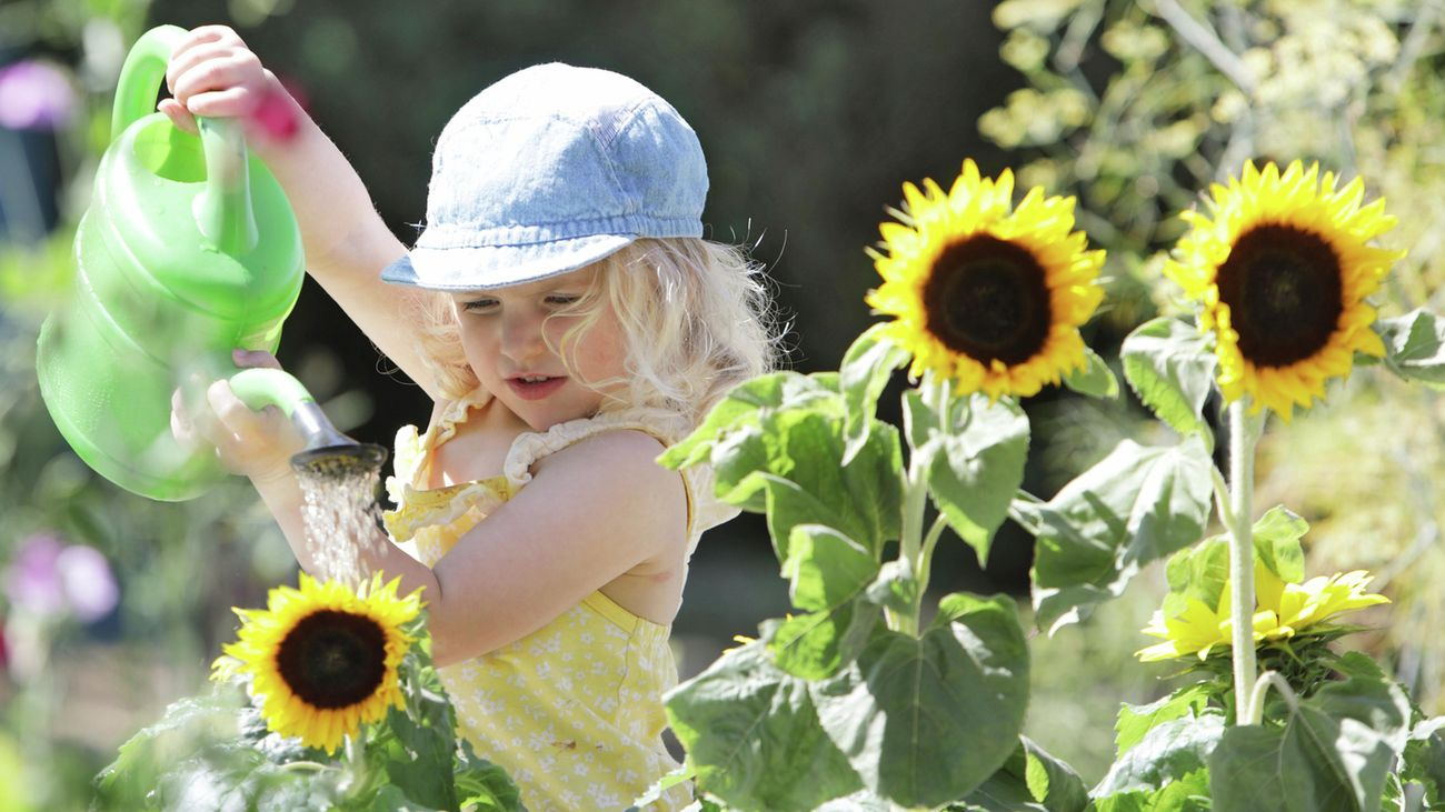 Young child with a hat on watering sunflowers