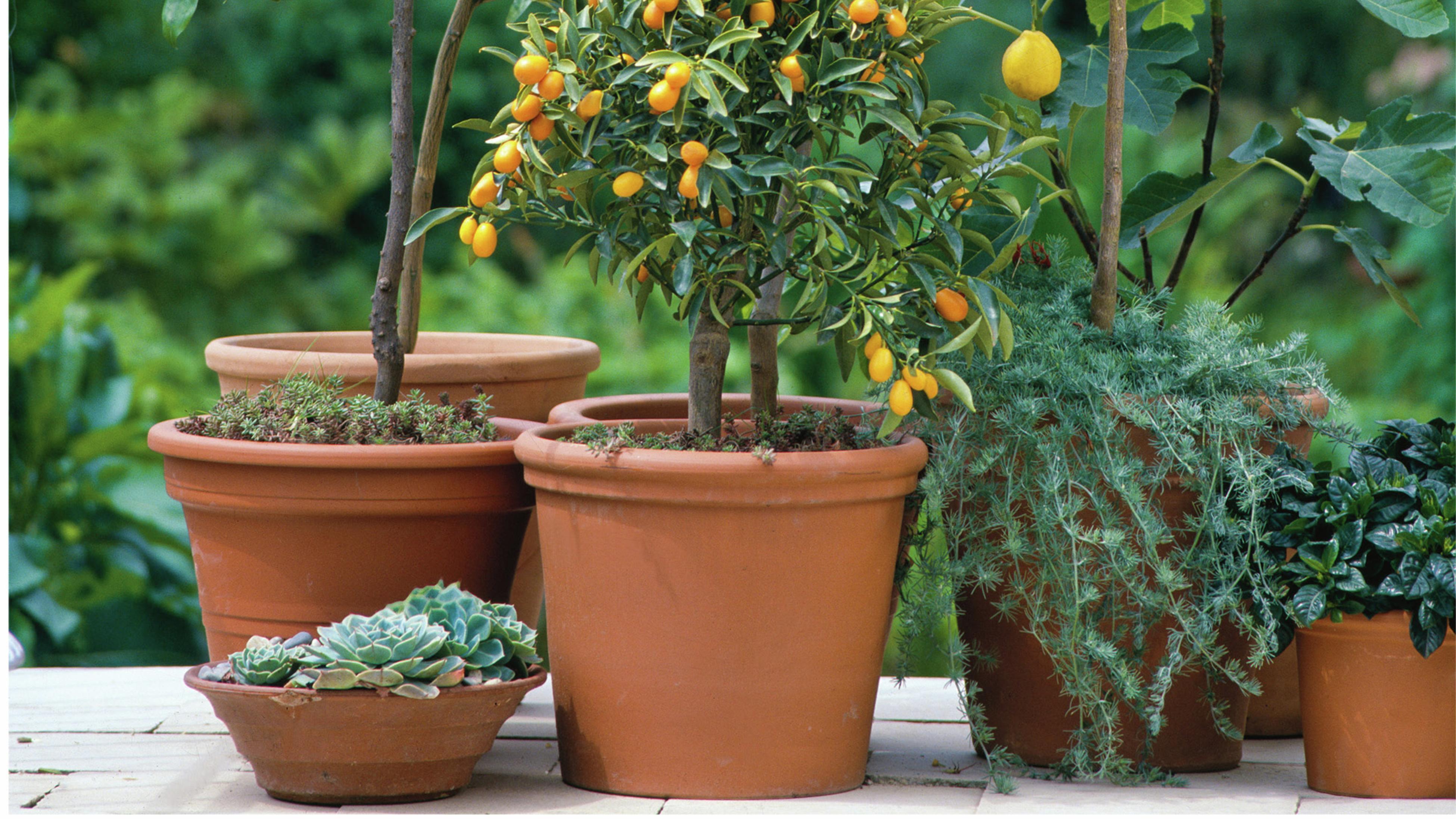 Oranges growing on tree.