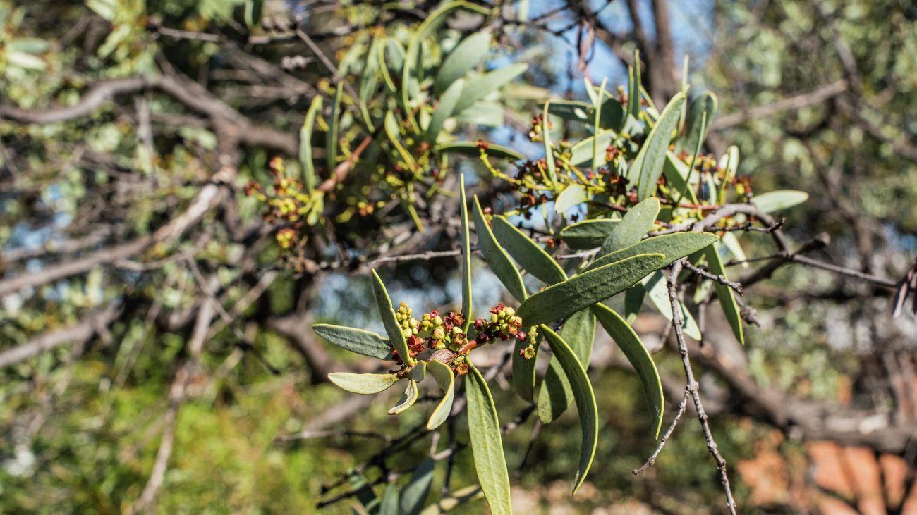 Close up of leaves on a sandalwood tree