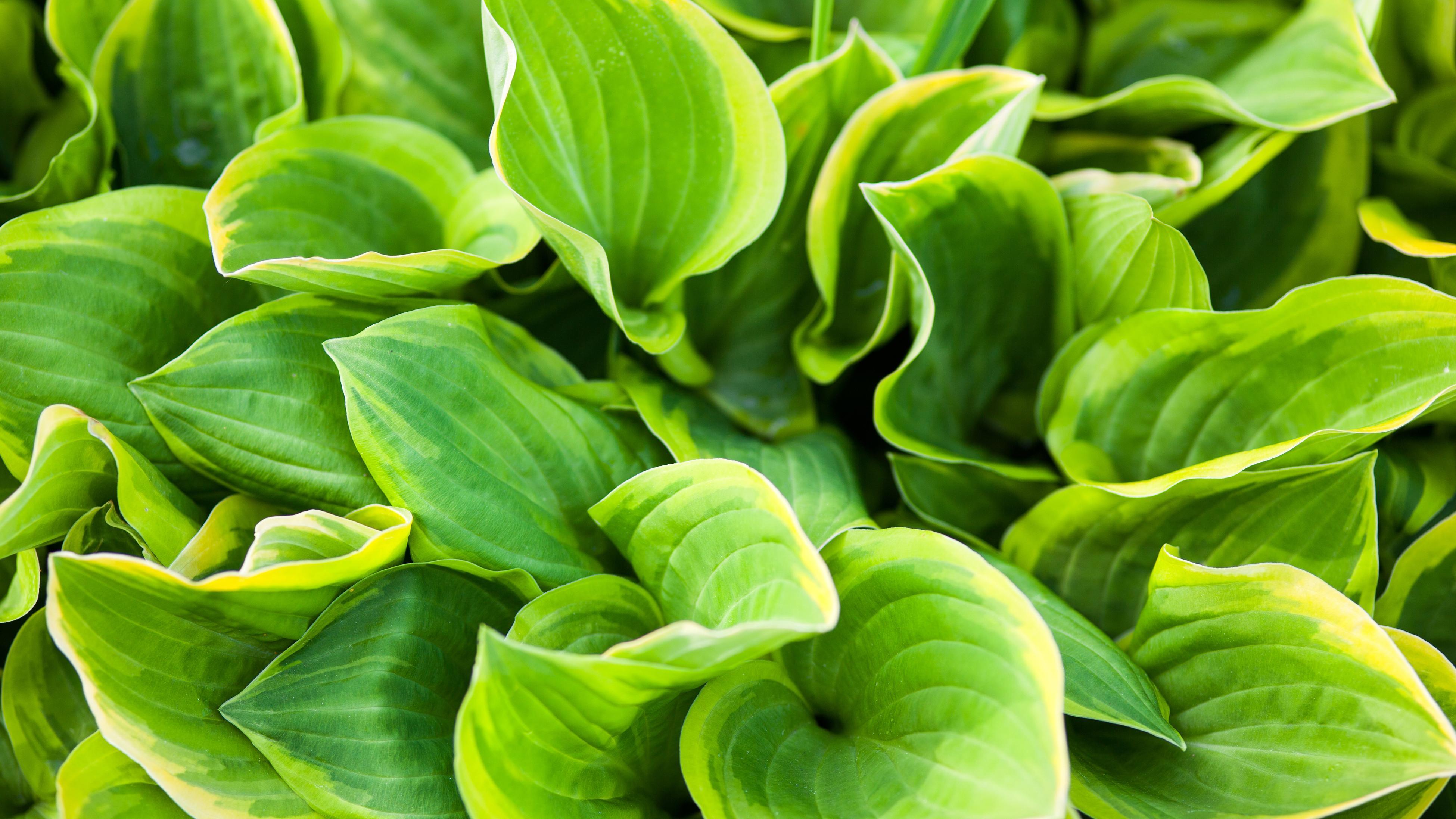 Close up of a Hostas plant.