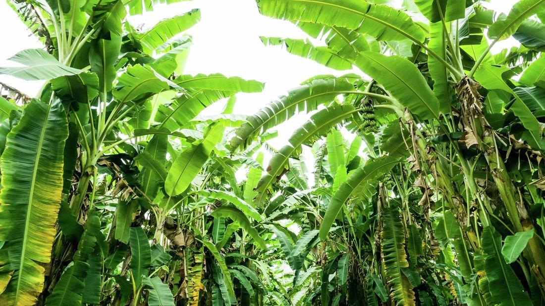 Beautiful lush green banana trees.