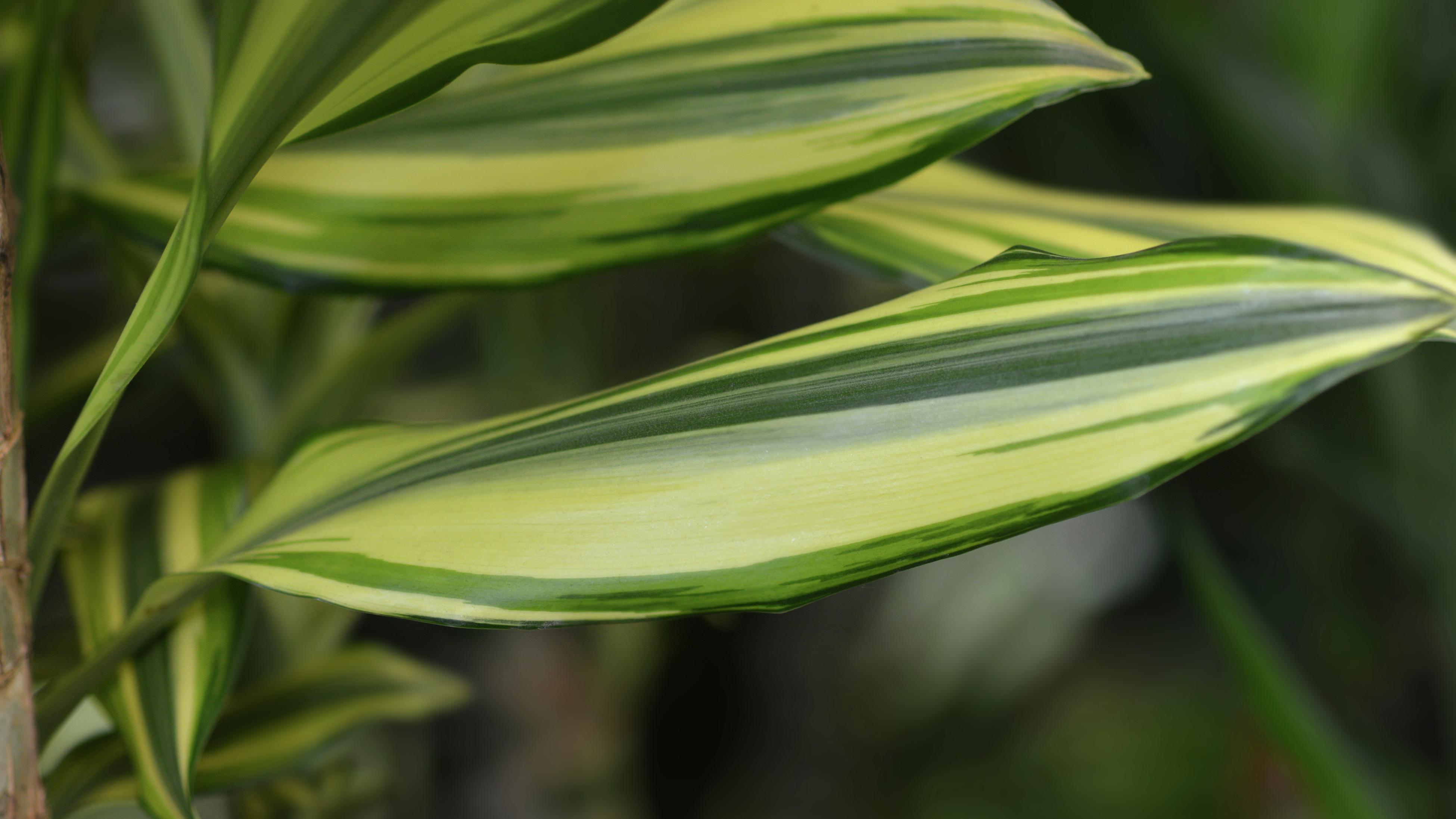 Close up of a dracaena leaf