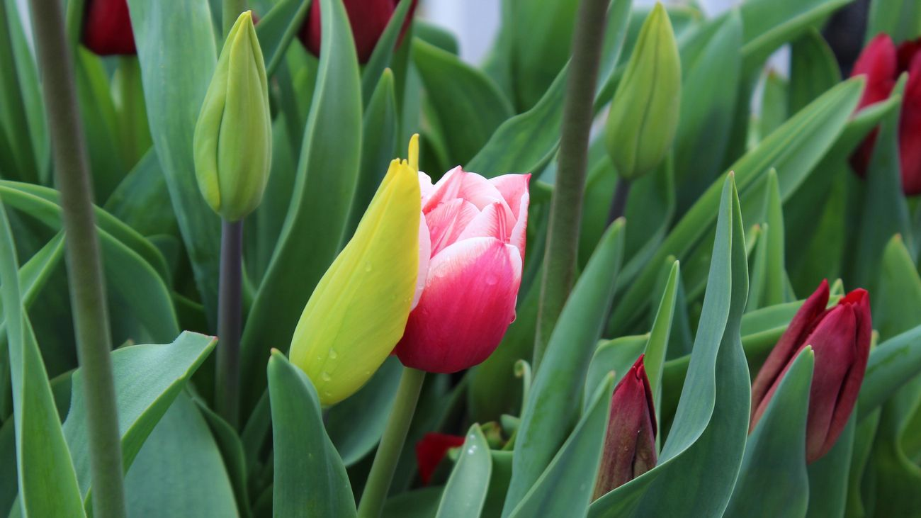 Close up of a tulip plant