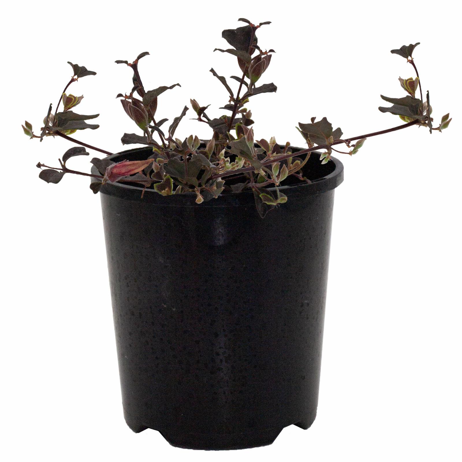 140mm Gastrolobium Praemorsum - Gastrolobium praemorsum syn. Bracysema praemorsum