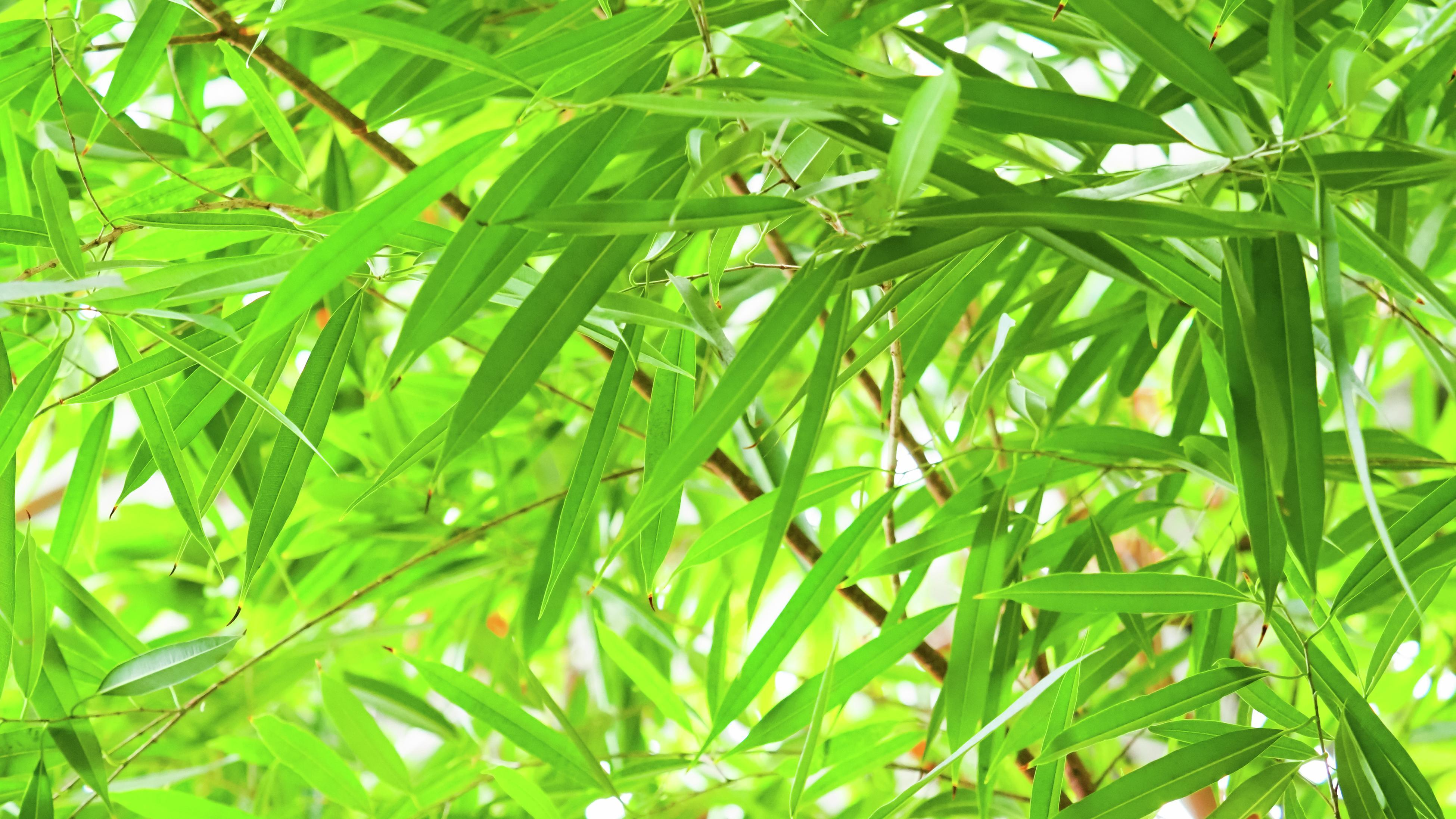 Bamboo plants with green leaves in a garden