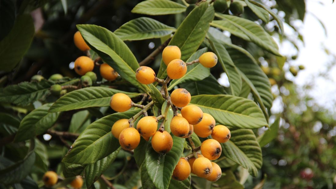 A loquat tree with orange loquat fruit