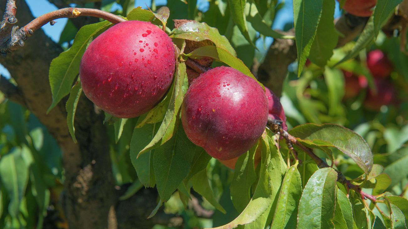 Ripe red nectarines among green leaves on a tree