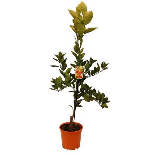 200mm Valencia Orange - Cirus x sinensis