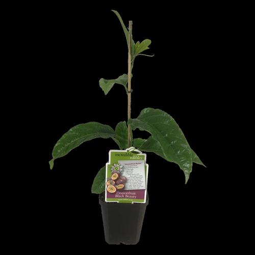 12cm Passionfruit Black Beauty - Passiflora edulis - Incredible Edilbles Range
