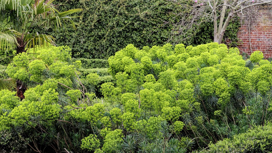 Wide shot of a euphorbia plant.