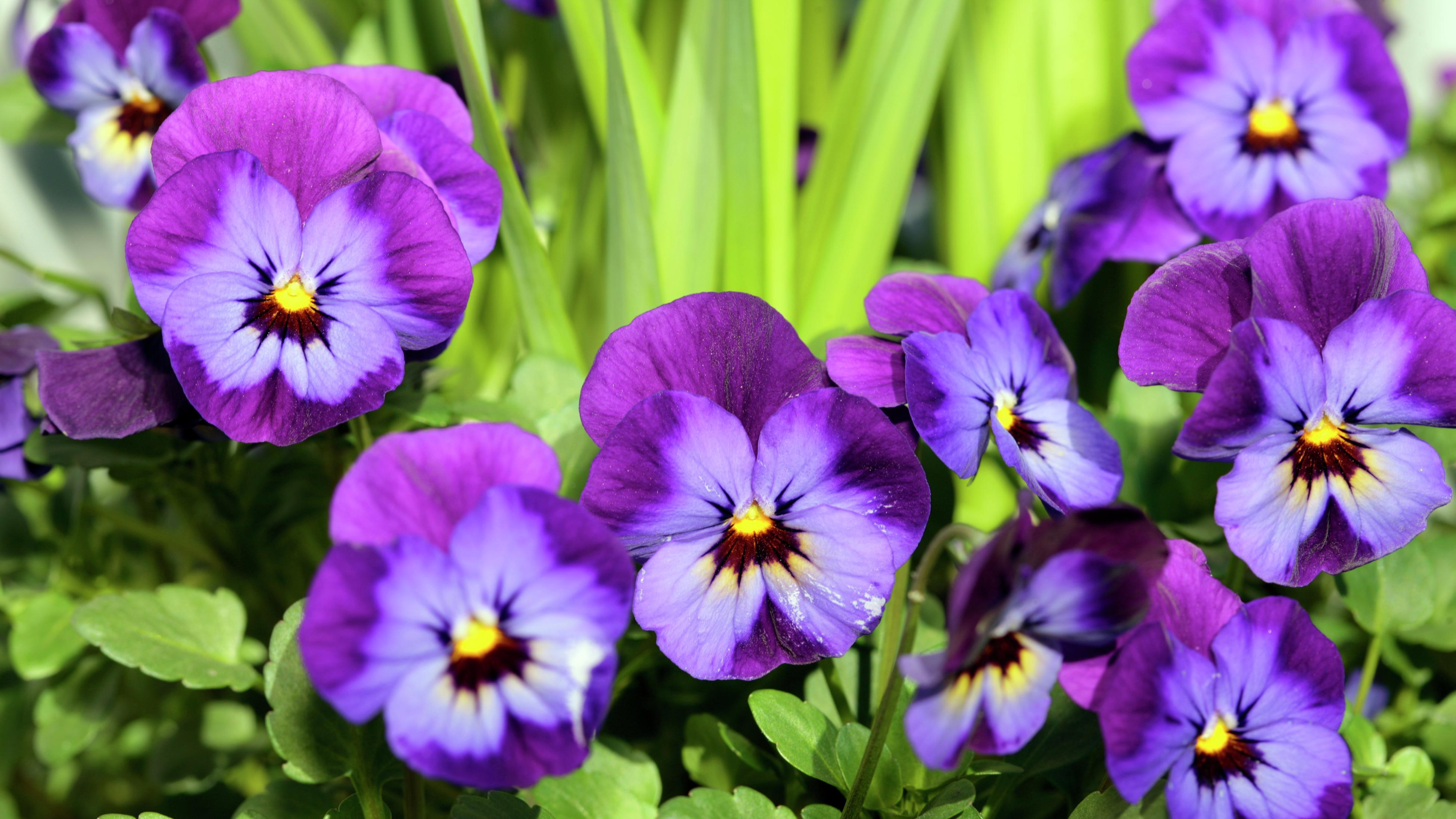 Close up of a purple violet flower.