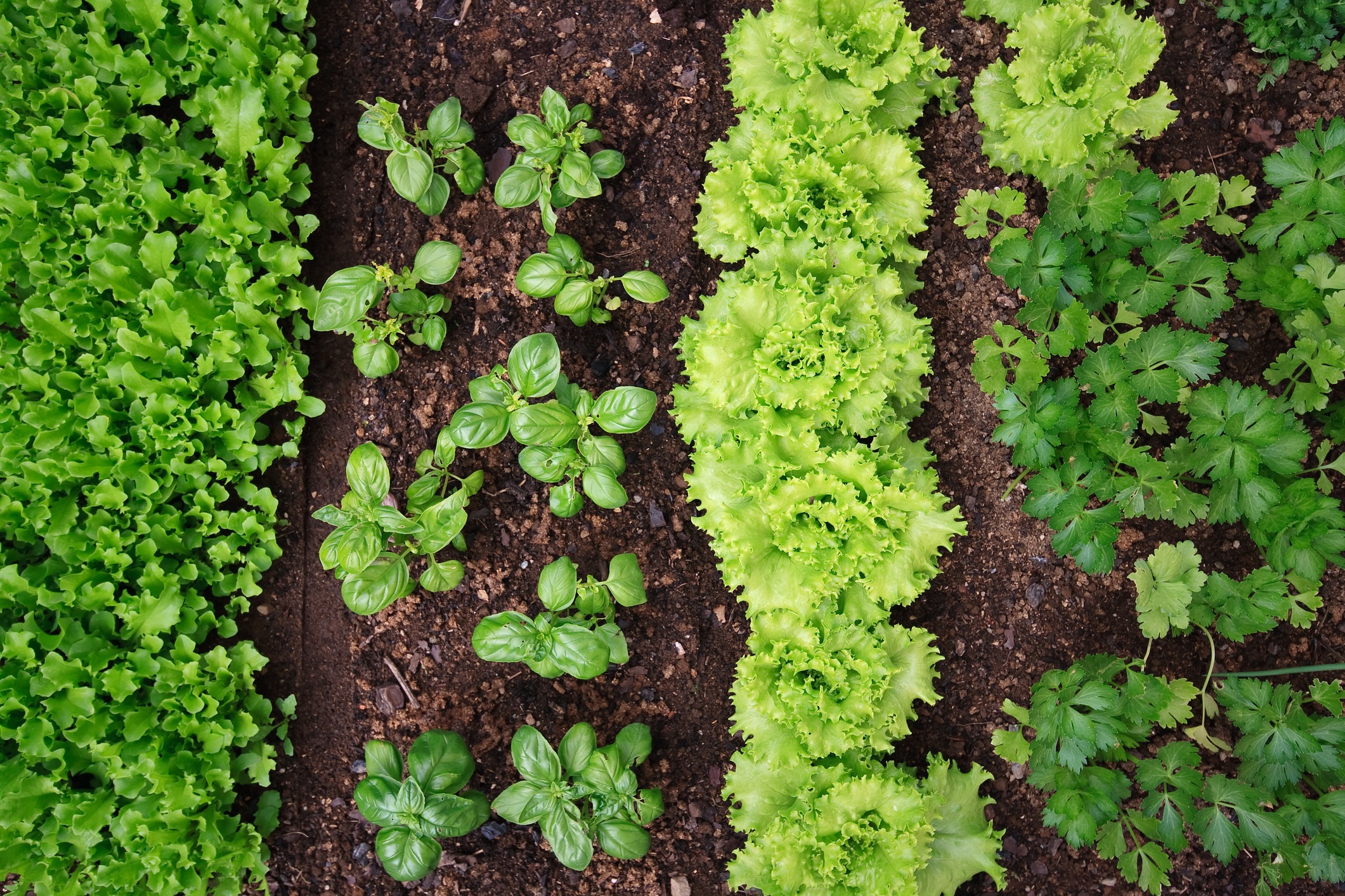 Rows of basil, coriander and lettuce