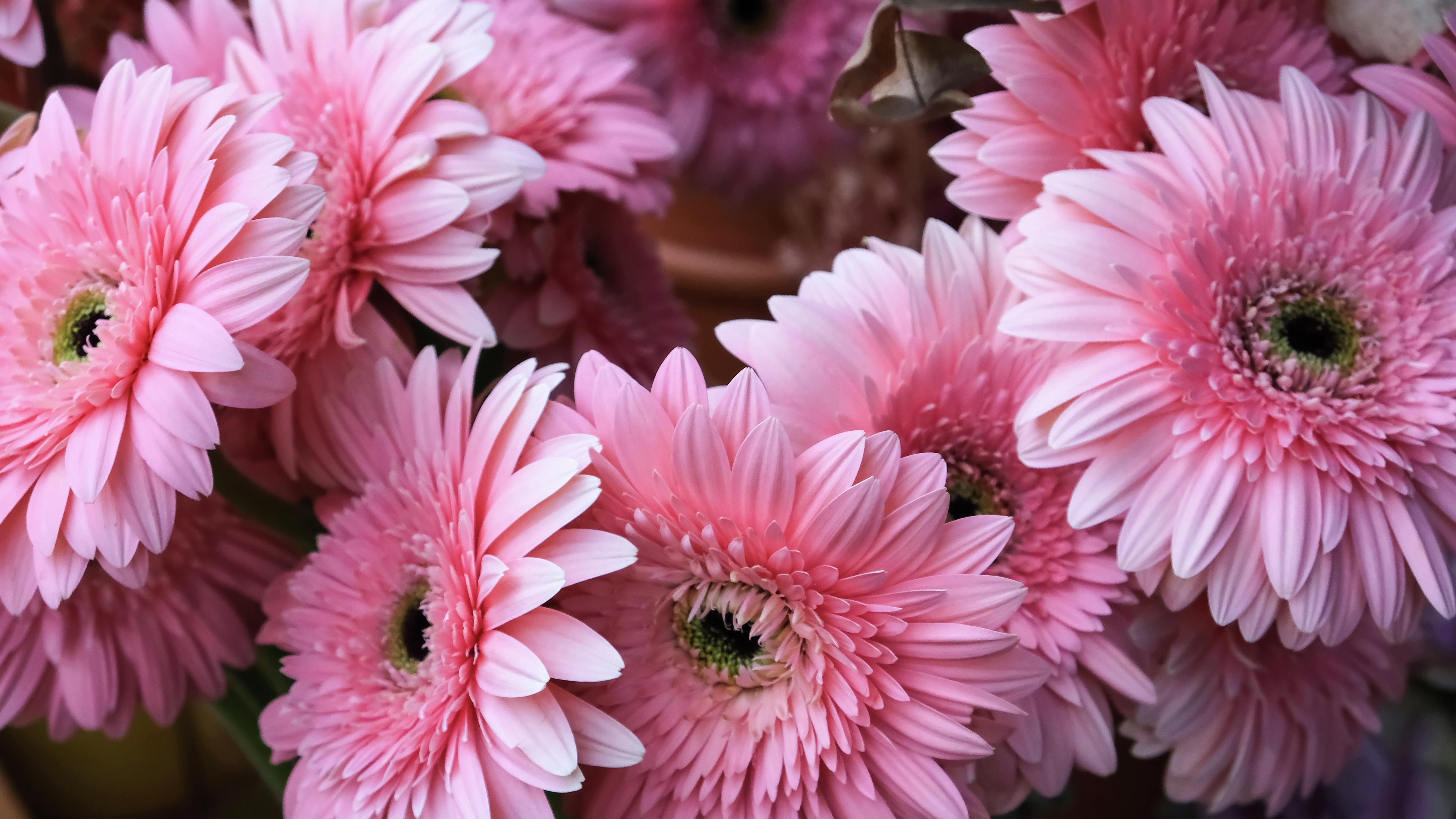 close up of pink gerbera flowers