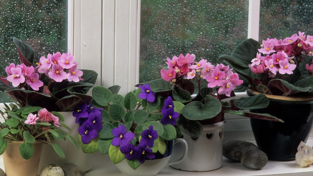 Pink and purple African violets in pots on the window sill