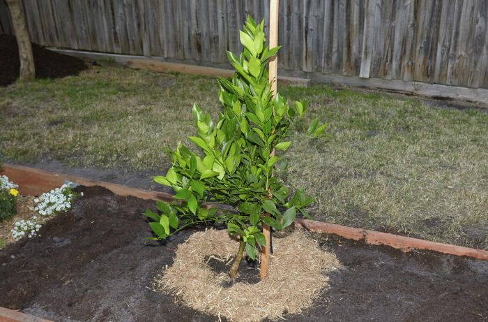 A young tree tied to a stake in a large garden bed