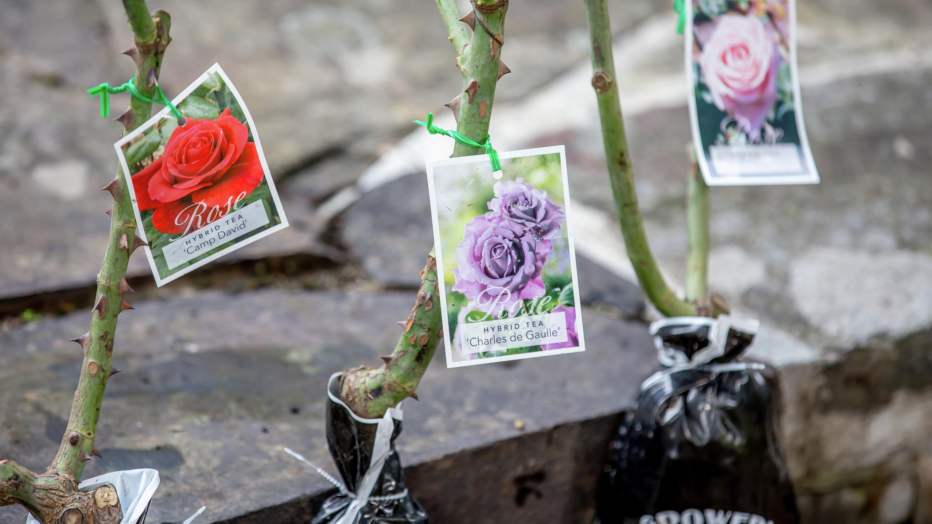 Three bagged rose plants with identification tags on them
