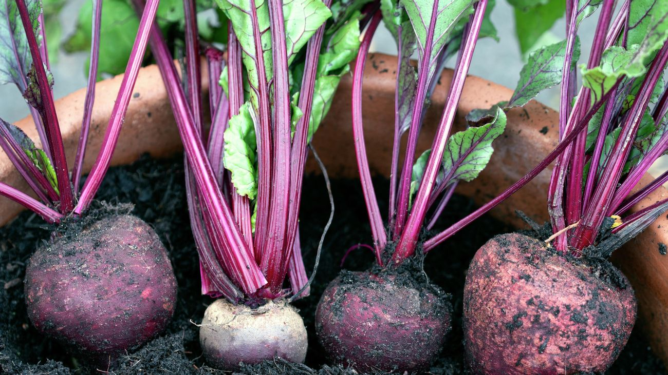 Homegrown beetroot in a terracotta pot filled with soil