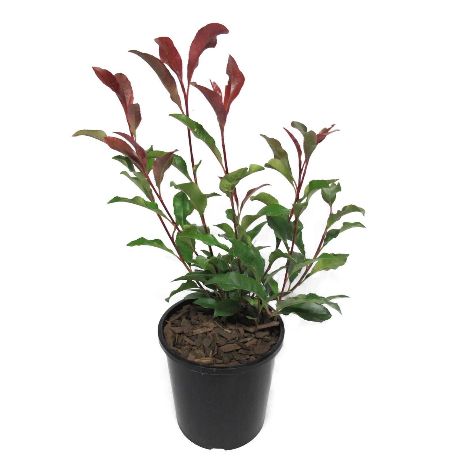 2.4L Photinia Supa Red - Photinia glabra