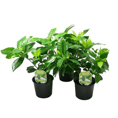 12cm Assorted Gardenia - Gardenia veitchii