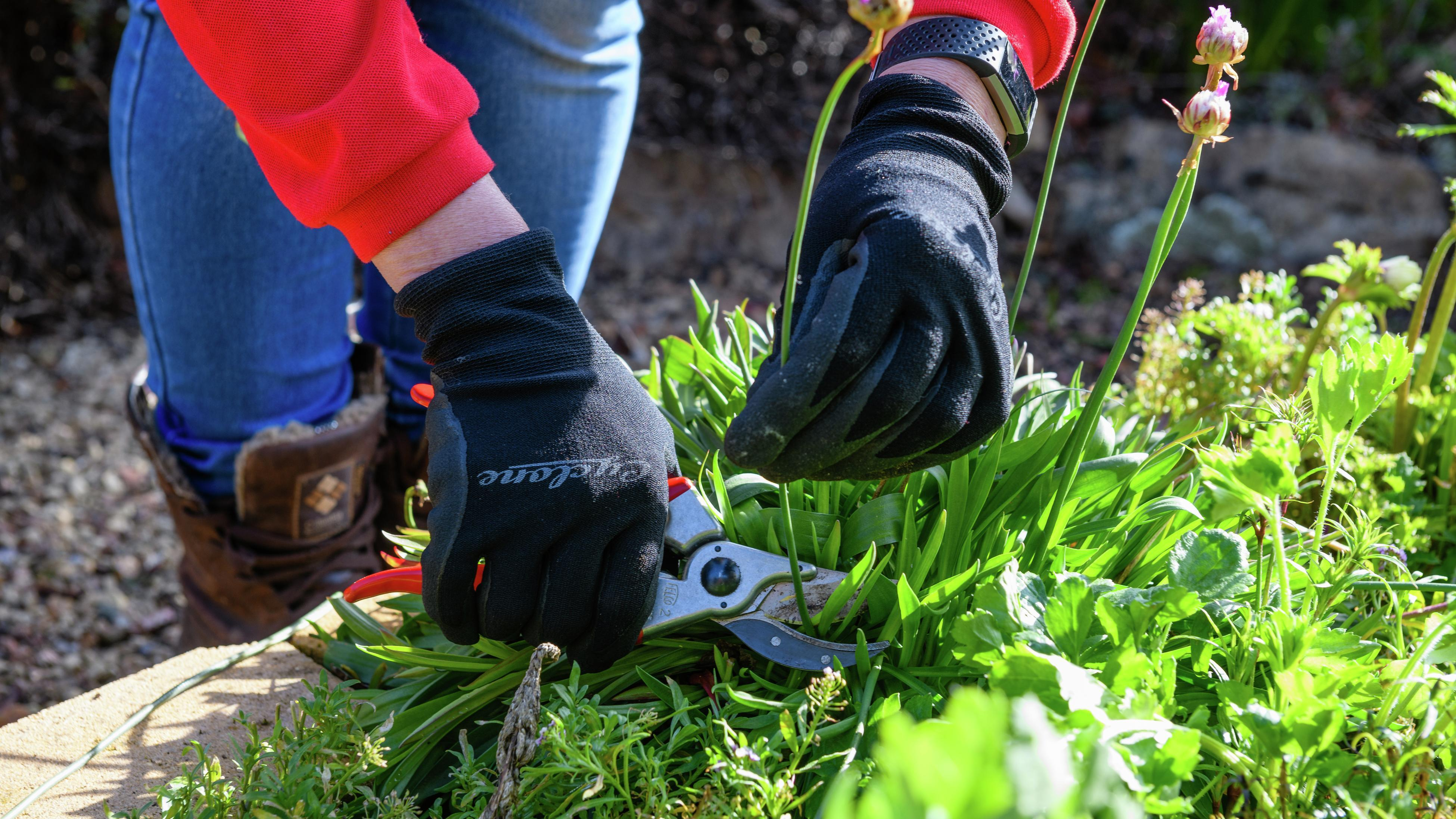 Gloved person using a pruning tool to remove dead flowers