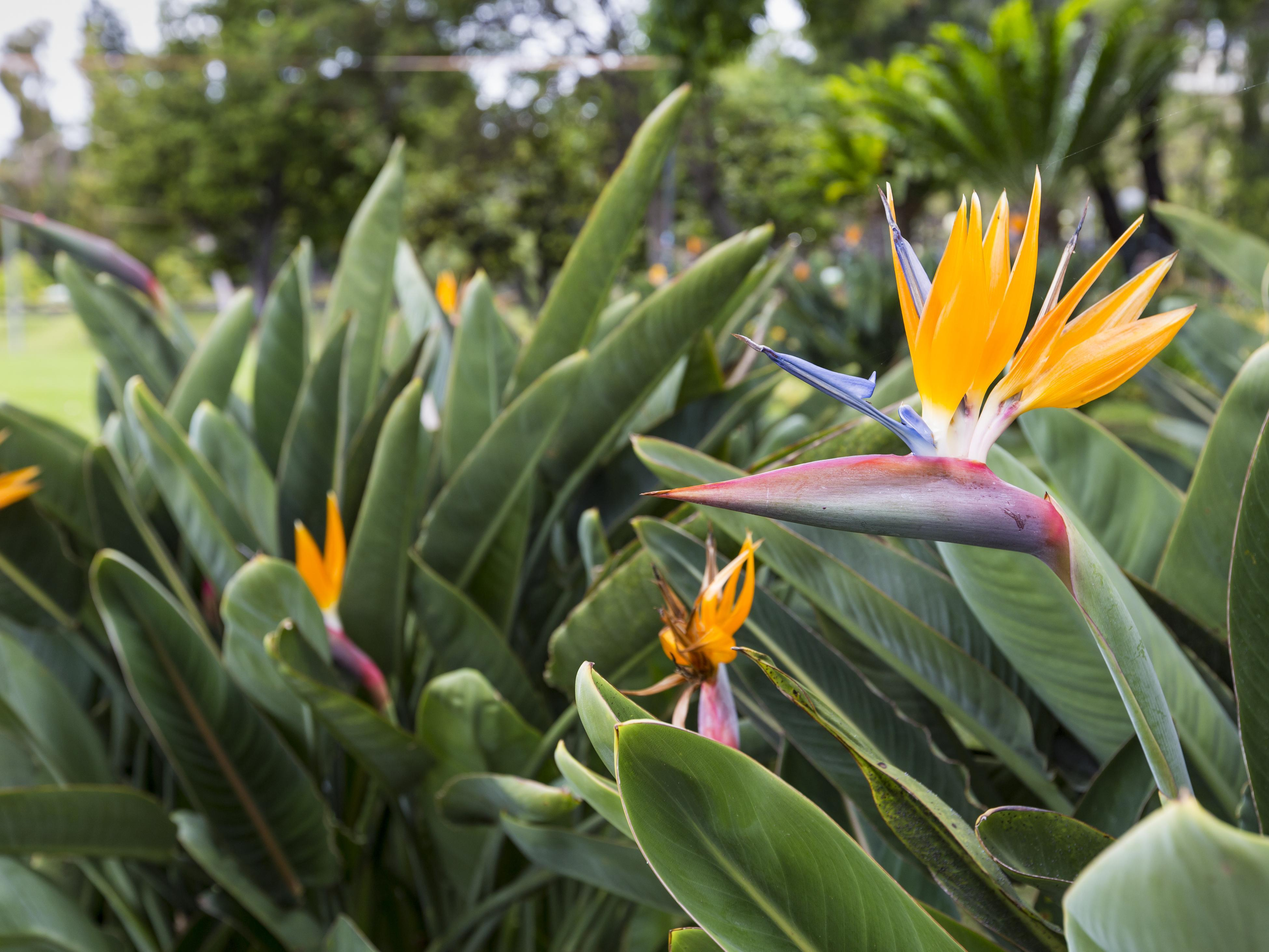 Bird of Paradise in bloom.