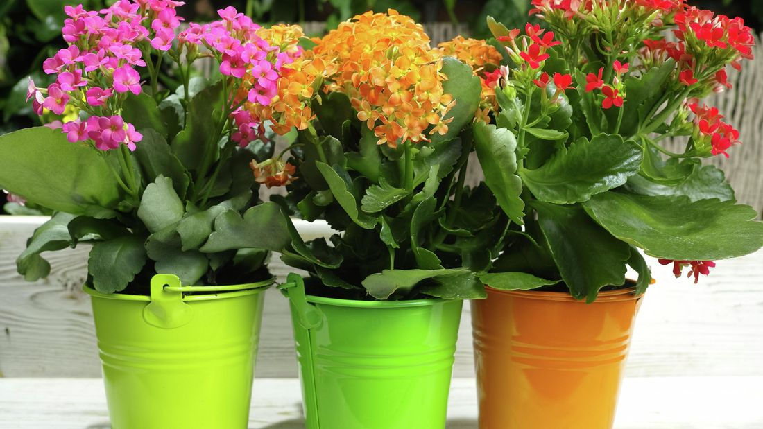 brightly coloured kalanchoe flowers in pots outside