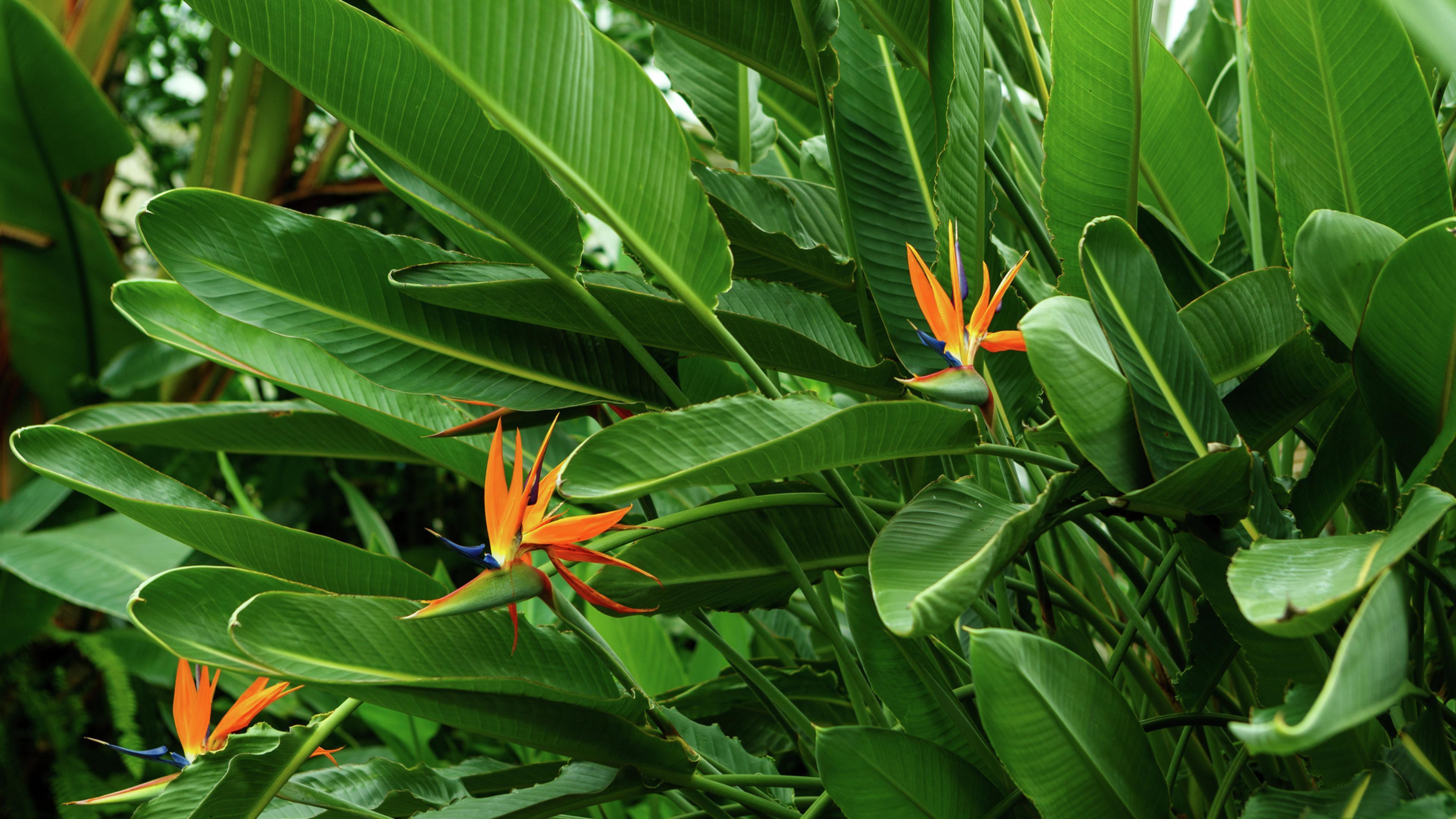 Bird of paradise (Strelitzia) plant with its distinctive orange and deep purple flower.