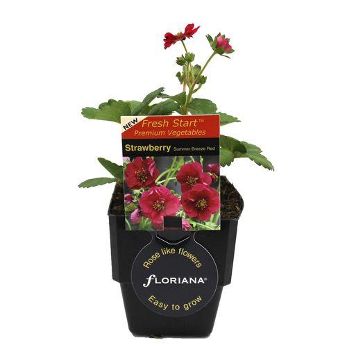 125mm Strawberry Summer Breeze - Fragaria ananassa - Floriana Fresh Start